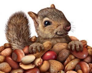 Squirrel Stockpiling Food